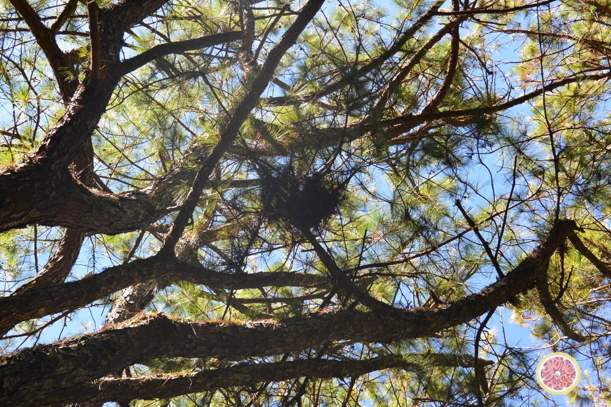 pinetressgenerosepomelo